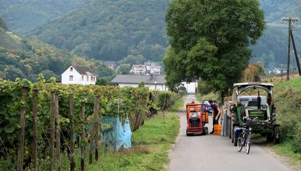In de wijngaarden wordt nog druk geplukt.