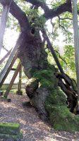 De oudste eik van Duitsland...