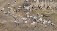 Kraanvogels, tienduizenden. Ze verzamelen zich begin april voor de trek naar het noorden.
