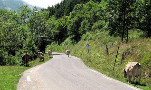 En dan opeens: koeien op de (hoofd)weg. Hier op weg naar boven, naar de Col d'Aubisque.