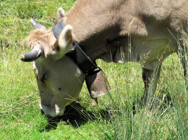 Mooi, die bellen! Maar zou zo'n koe daar nou niet gék van worden??