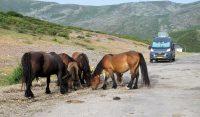 Na de koeien-met-bellen komen er nu loslopende paarden-met-bellen voorbij!