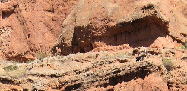 Eén van de gieren is neergestreken op een richel van de steile rotswand.