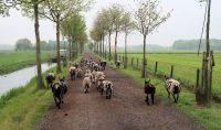 De schapen huppelen voor ons uit...