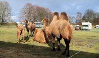 Kamelen op de camperplaats!