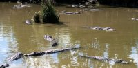 De alligator-vijver. Verboden te zwemmen...