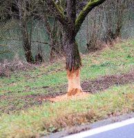 Een door bevers aangevreten boom, vlak langs de weg en de rivier.