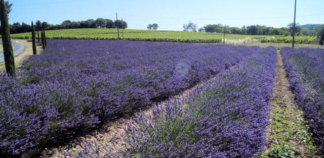 Lavendel en wijn.